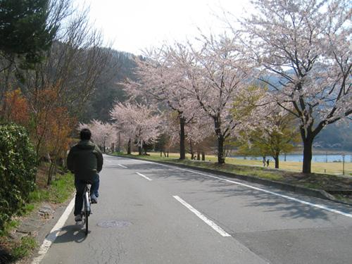 桜舞い散る湖畔の道をサイクリング